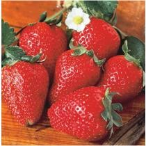 15% off Fort Laramie Everbearing Strawberry