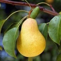 25% off Kieffer Pear Tree