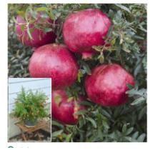 30% off Dwarf Pomegranate Plant