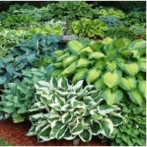 63% off Gardening4Less Hosta Perennial Mixed Bare Root Plants 2 Pack