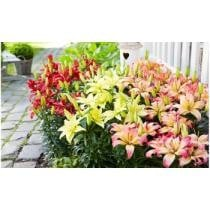 79% off Lily Flower Bulb Mix
