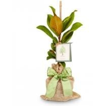 Southern Magnolia Tree Now $49.95