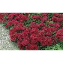 Up to 47% off 6-Pk. Red Creeping Sedum Potted Plants